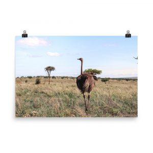 ostrich print ostrich photography ostrich photo ostrich picture